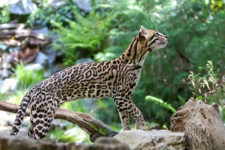 Китайская горная кошка: описание внешности и характера кота, ареал обитания и образ жизни