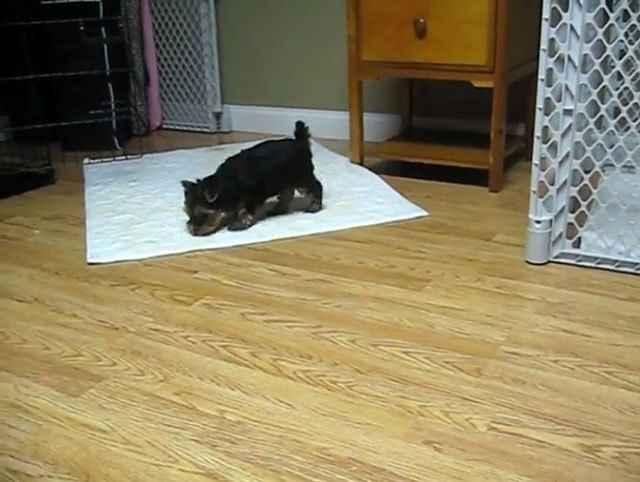 Как приучить щенка к пеленке
