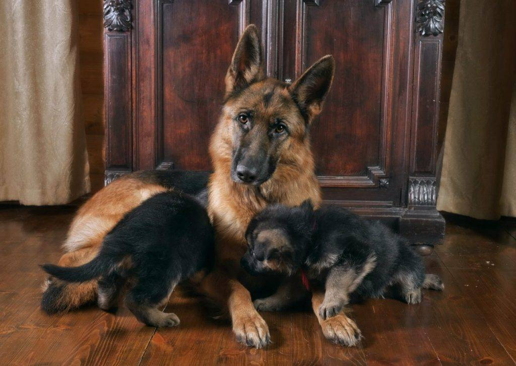 Воспитание щенка немецкой овчарки