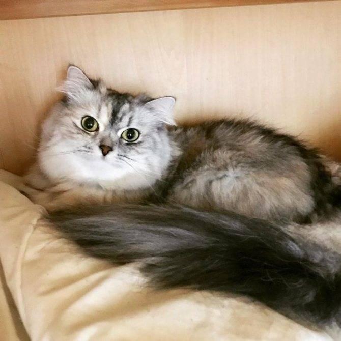 Рагамаффин – калифорнийская кошка. стандарты, содержание и стоимость