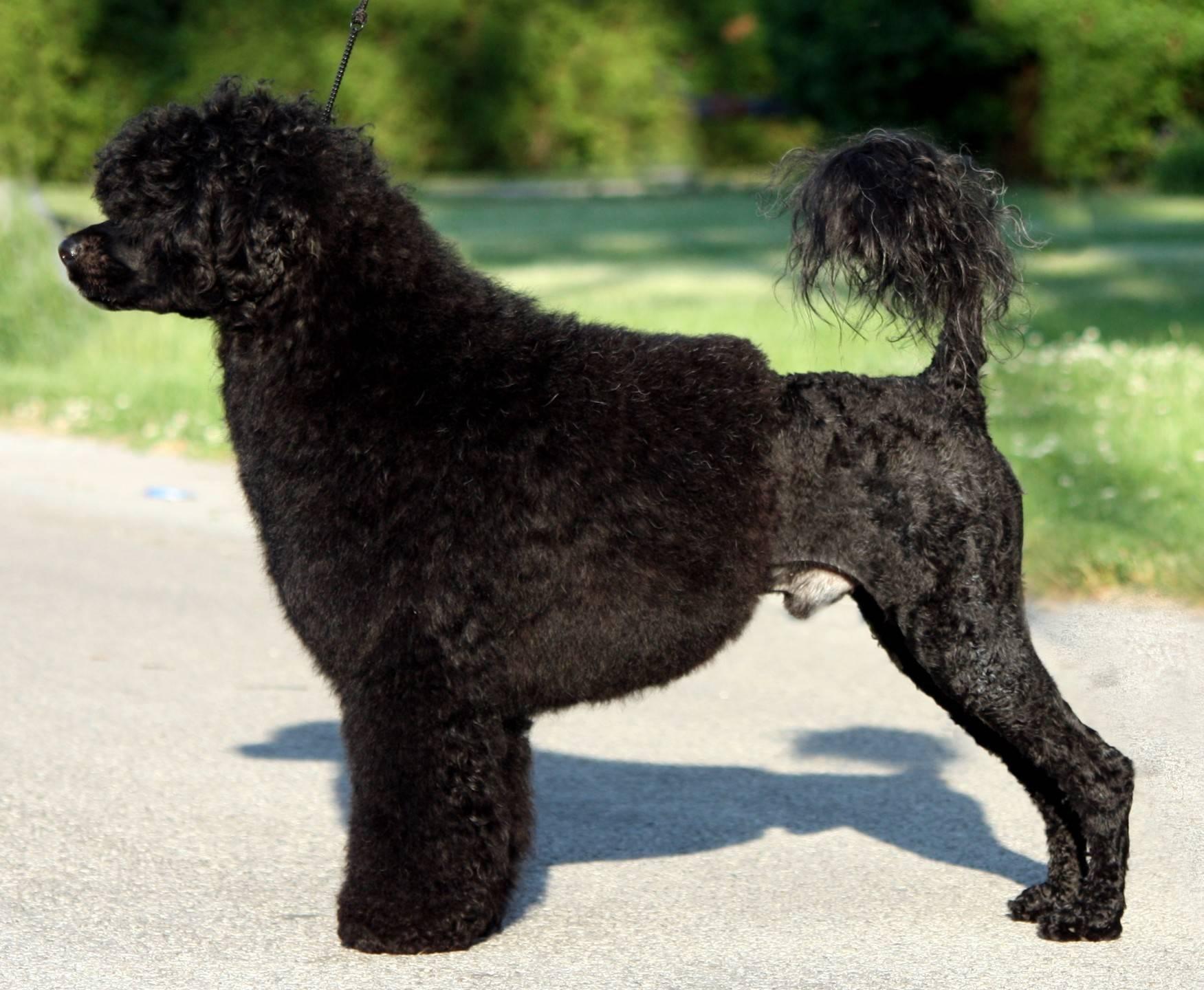 Описание породы португальская водяная собака с отзывами и фото