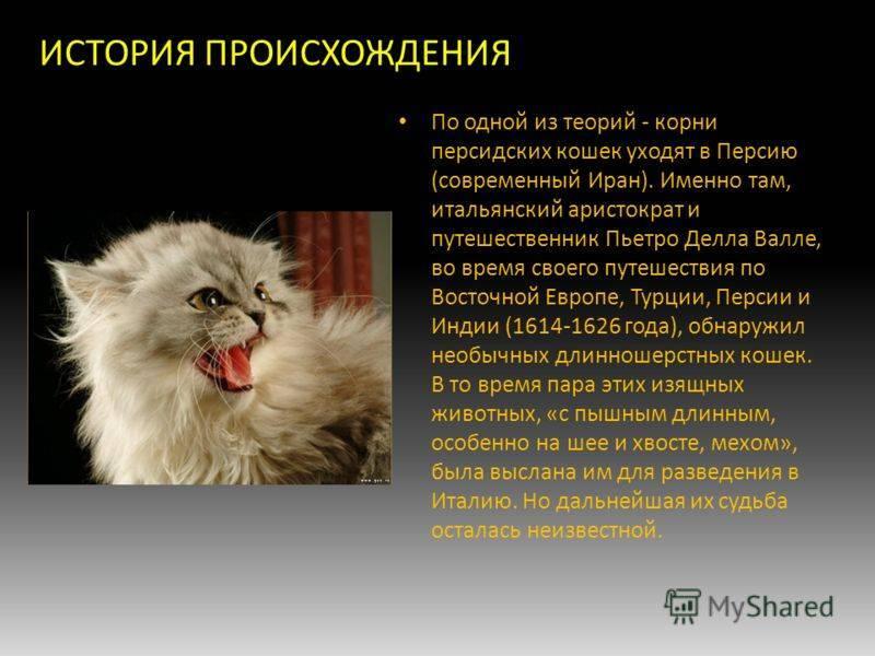 Невскай маскарадная кошка: описание породы, питерская, сибирская, гладкошерстная и длиношерстная, характер котят