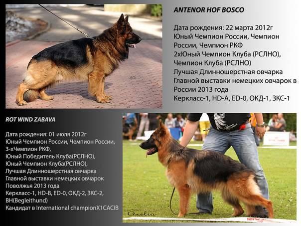 Немецкая овчарка собака. описание, особенности, виды, уход, содержание и цена породы   живность.ру