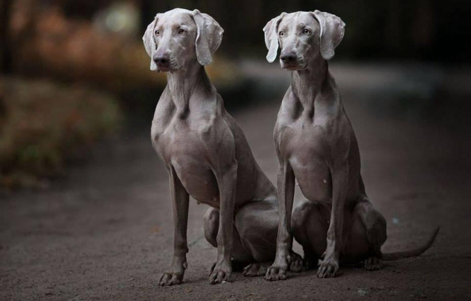 Веймарский легавый: описание, характер, уход, фото | все о собаках