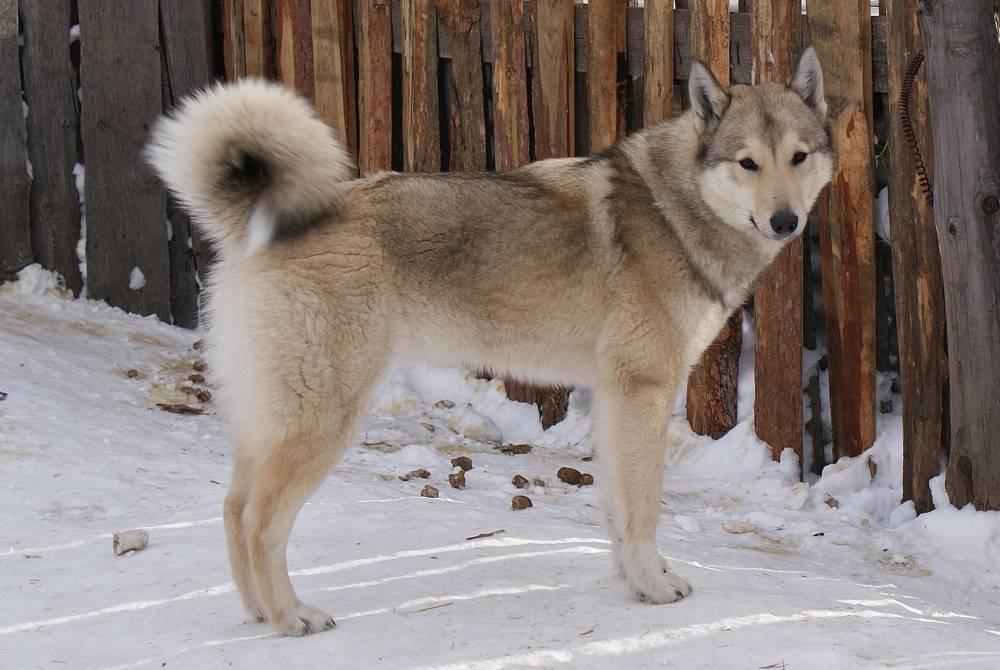 Западно-сибирская лайка собака. описание, особенности, уход и цена породы   sobakagav.ru