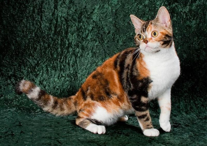 Американская короткошерстная кошка: фото, характер