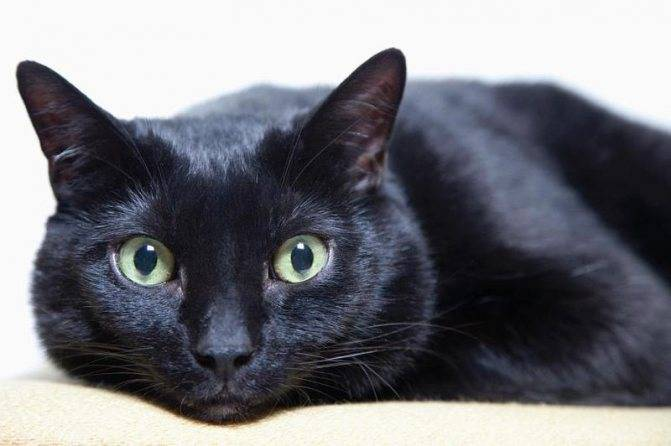 Чёрный кот с зелёными глазами: список пород с фото