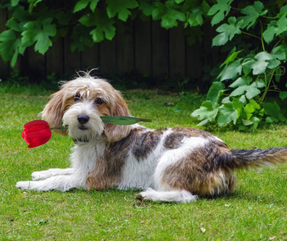 Малый вандейский бассет-гриффон — описание и фото породы | все о собаках