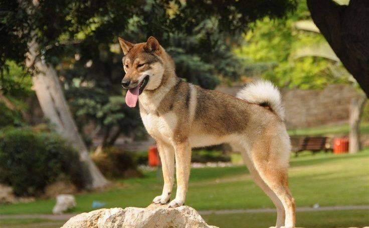 Порода собак сикоку — описание, характер и стандарт