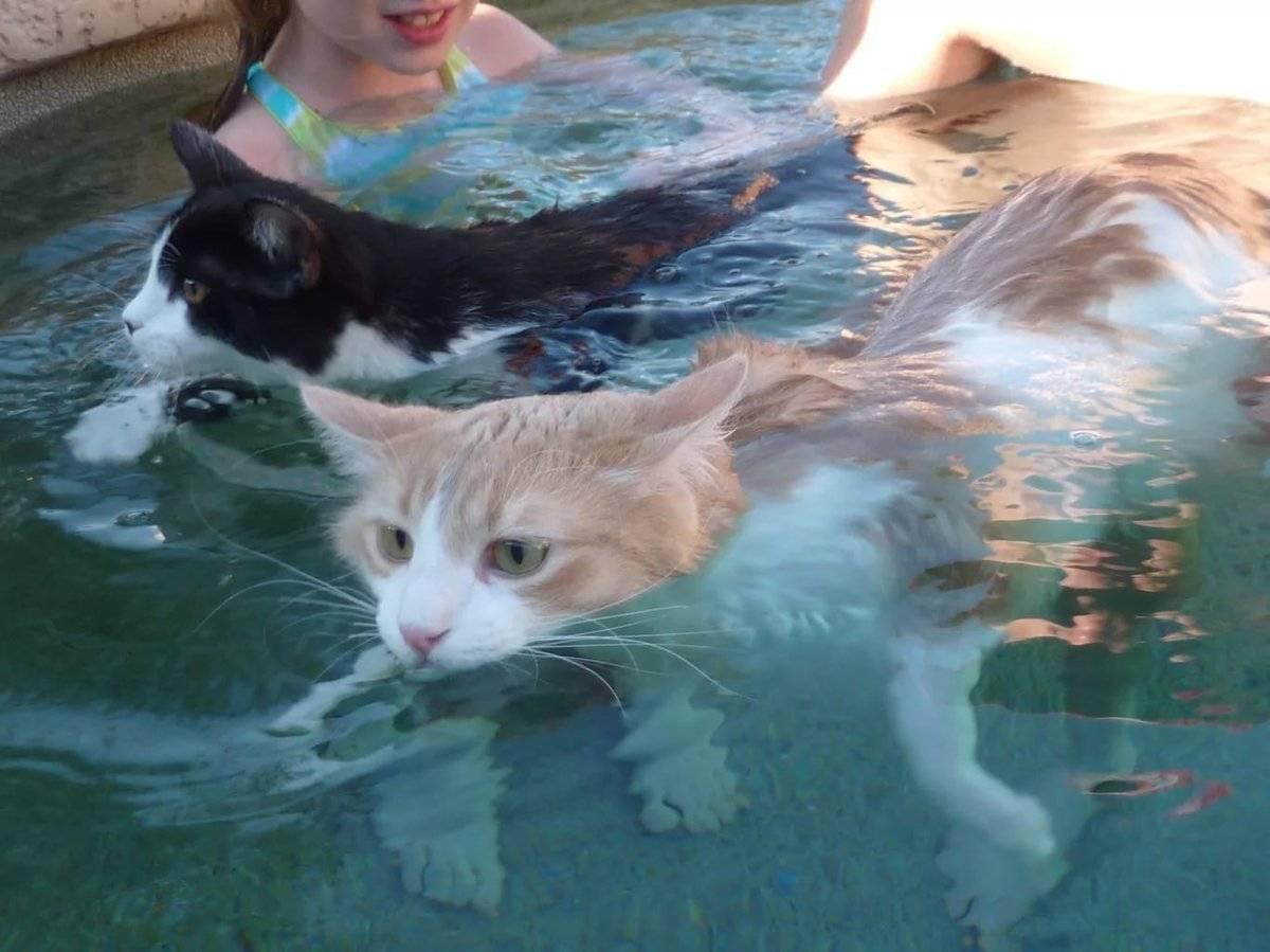 Кошки которые любят купаться: турецкая ангора, курильский бобтейл