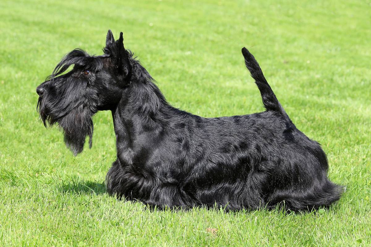 Описание породы собак скотч терьер (шотландский терьер) с фото
