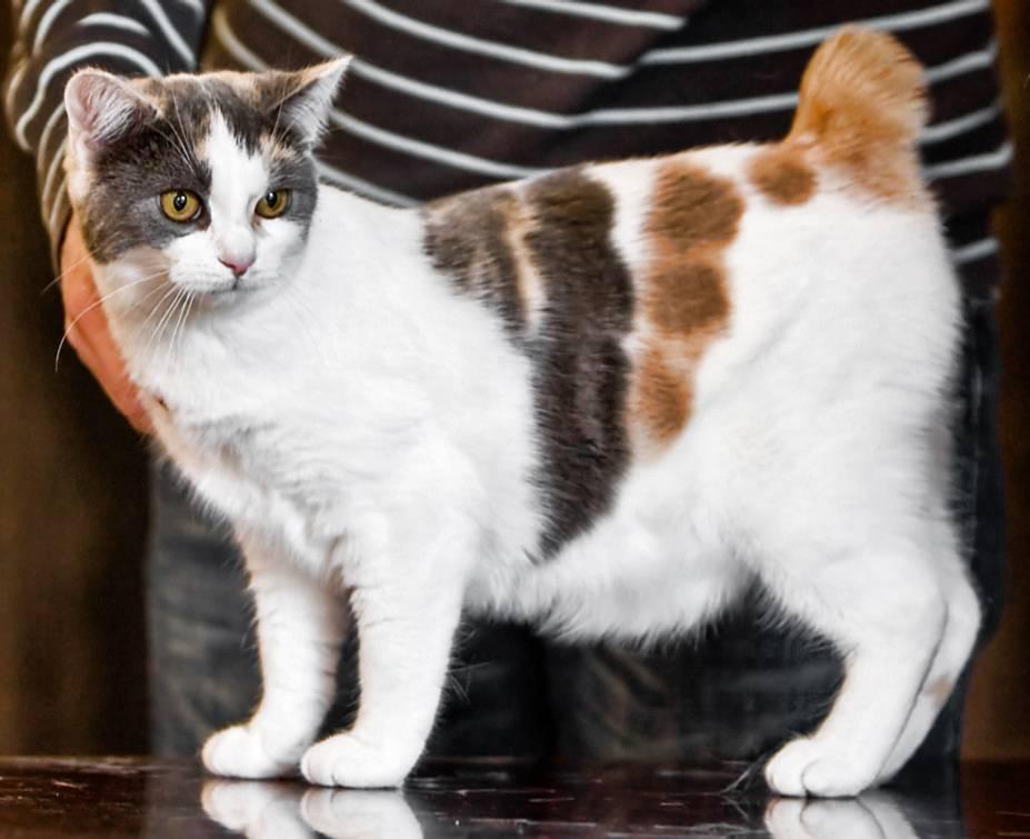 Мэнкс (мэнская бесхвостая кошка): история, внешность, характер и здоровье