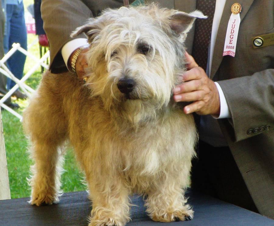 Ирландский глен-оф-имаал-терьер: фото и характер собак