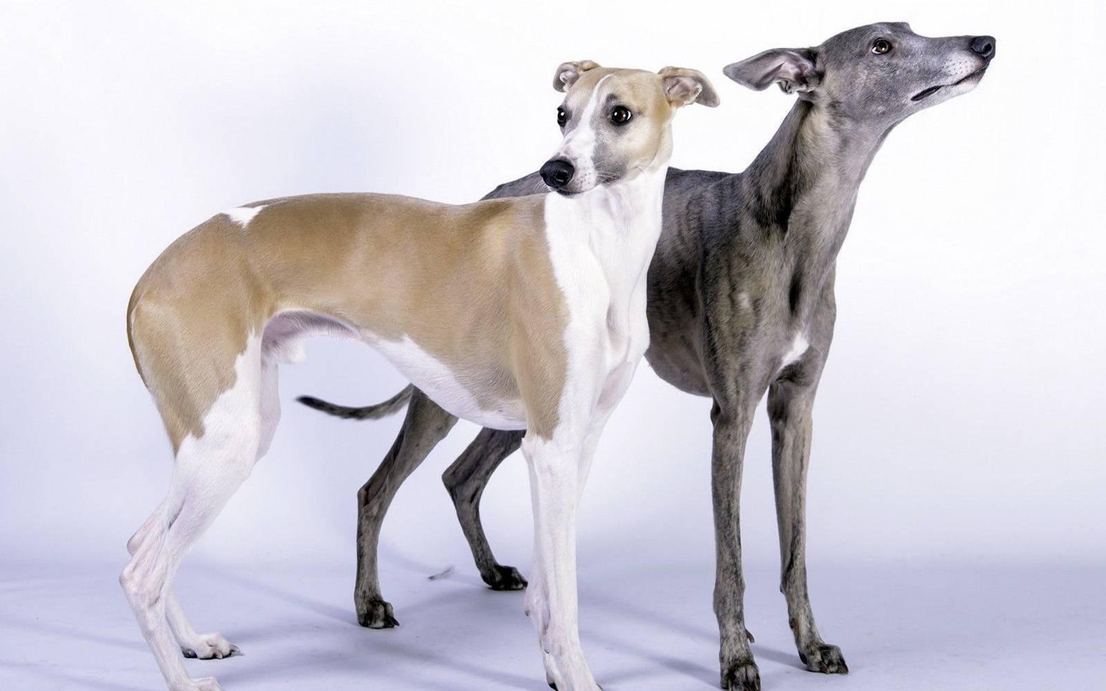 Уиппет: описание породы, характер собаки и щенка, фото, цена
