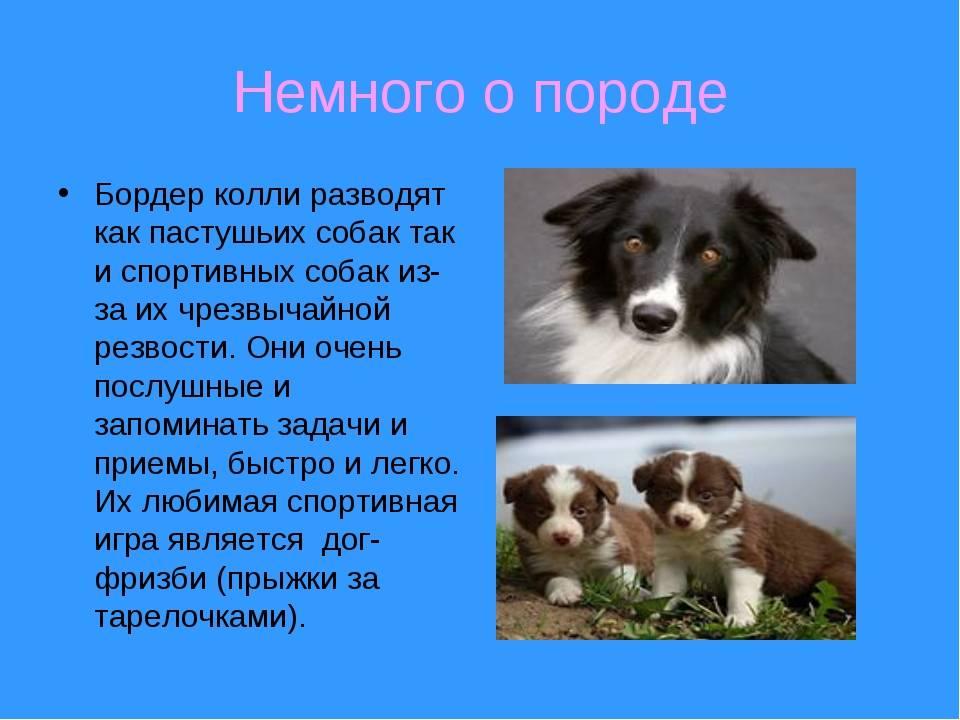 Английская овчарка (38 фото): описание и характеристики породы. как выглядят щенки британской пастушьей собаки?