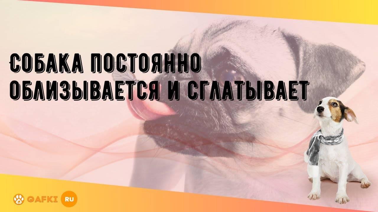 Почему собака лижет лапы? подробности от ветеринара дерматолога