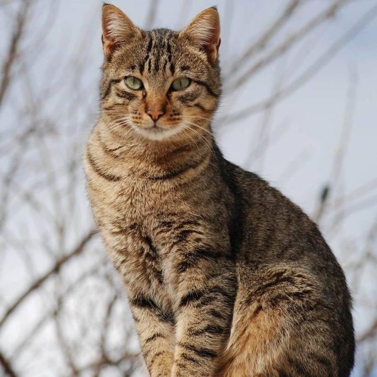 Дикий барханный (пустынный) кот или арабская песчаная кошка: фото, описание, содержание в домашних условиях