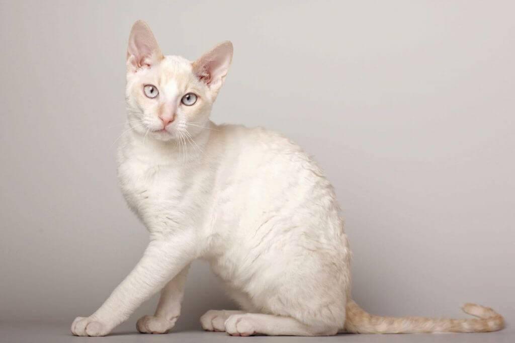 Герман рекс кошка: подробное описание, фото, купить, видео, цена, содержание дома