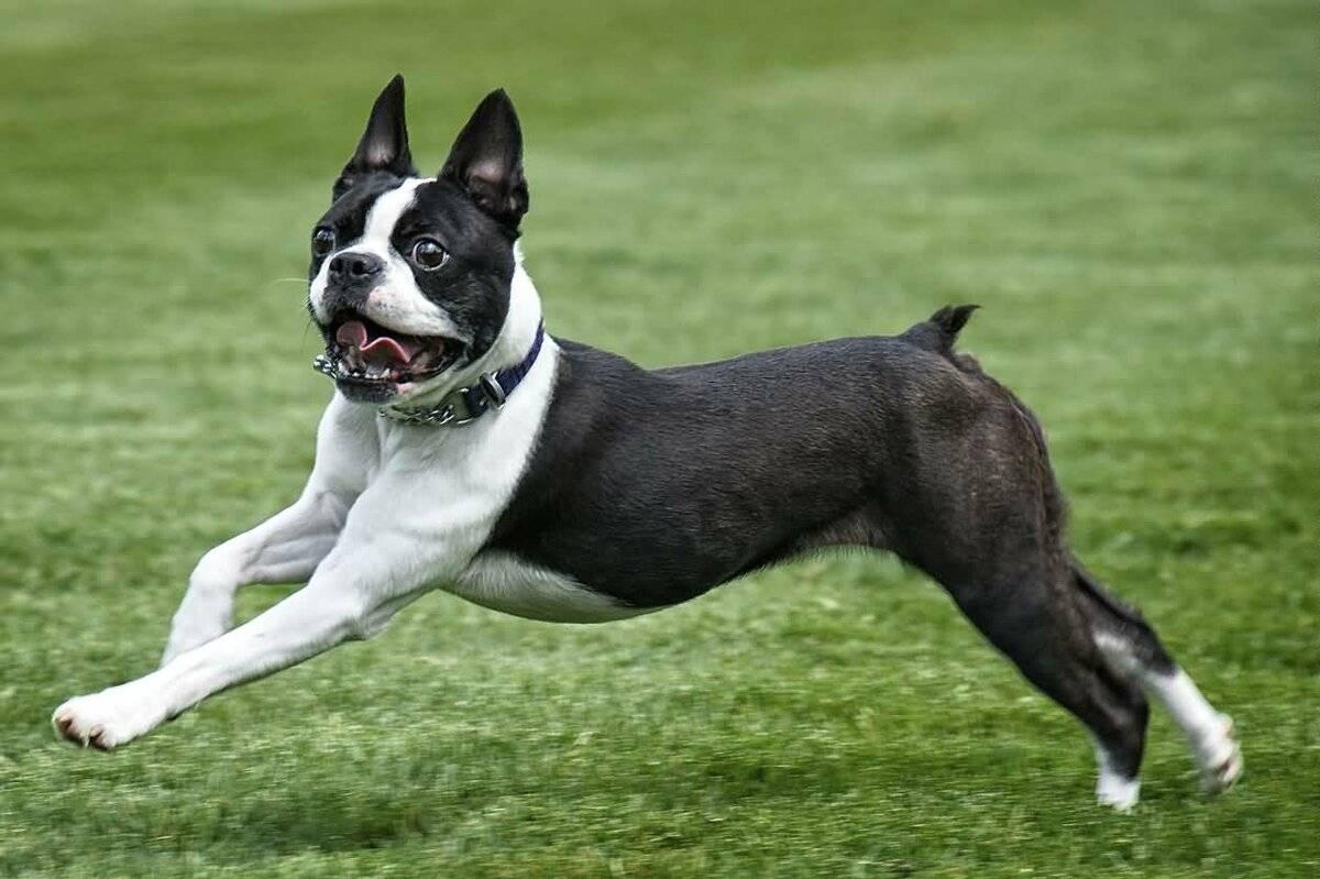 Порода собак ньюфаундленд описание породы фото дрессура цена