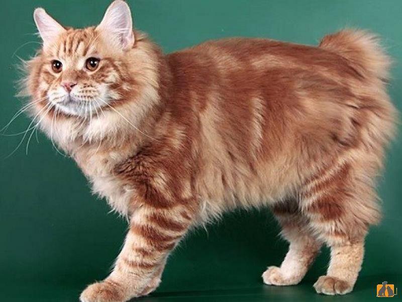Описание породы бобтейл, характер и содержание кота