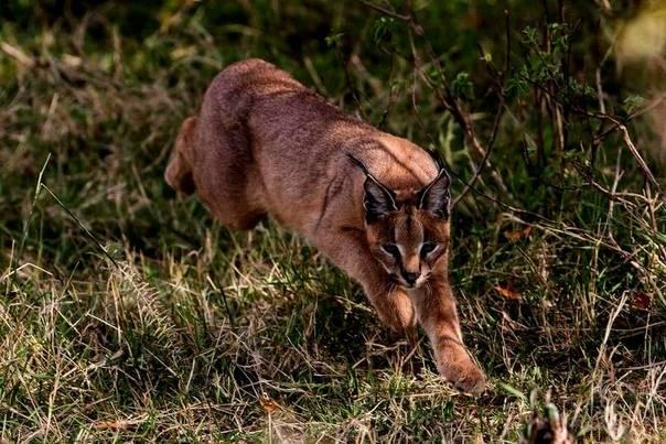 ᐉ каракал (пустынная или степная рысь): описание степной кошки, поведение и характер - kcc-zoo.ru
