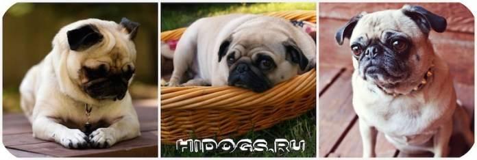 Собаки-долгожители (23 фото): какие породы самые долгоживущие и отличаются хорошим здоровьем? мировой рекорд долгожительства, занесенный в книгу гиннеса