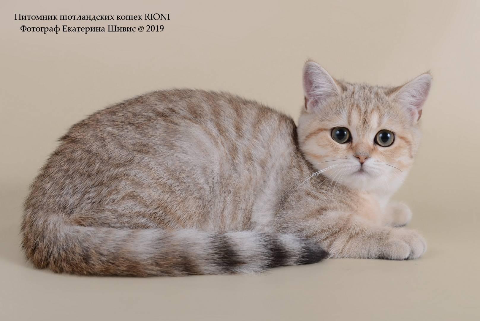 Короткошерстная шотландская кошка: описание породы и содержание
