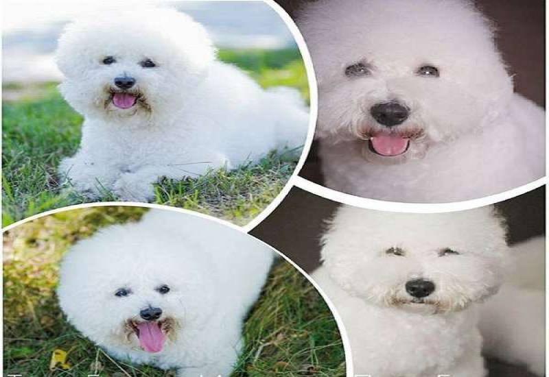 Бишон фризе (63 фото): описание породы французская болонка, плюсы и минусы собак, особенности характера, отзывы владельцев