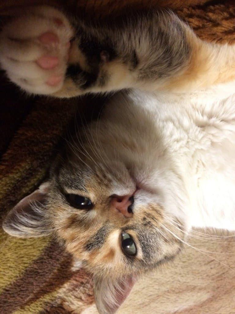 Особая магия трёхцветной кошки: приметы и породы