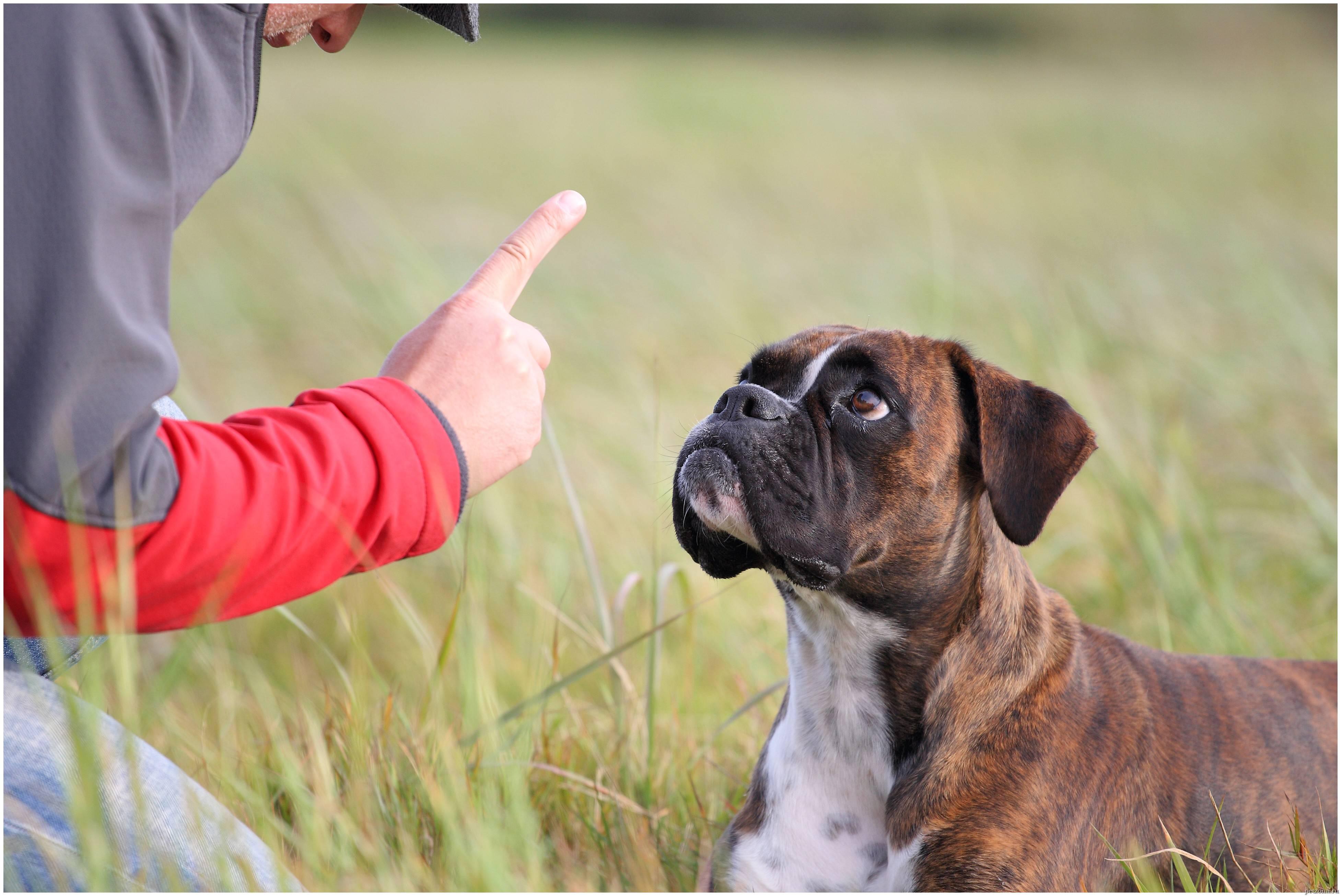 Как самому научить щенка командам: инструкции для базовых и дополнительных команд, обучаем собаку трюкам