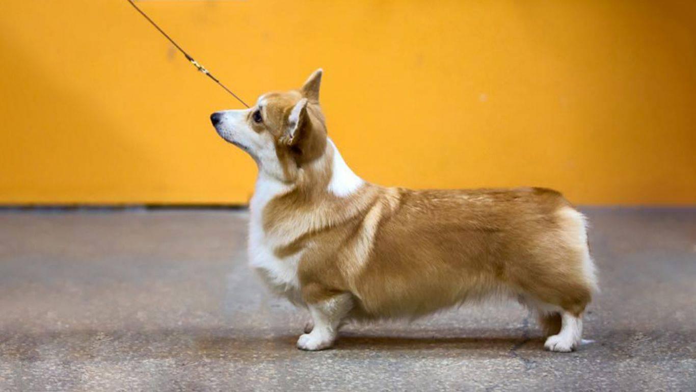 Вельш корги пемброк собака. описание, уход и цена вельш корги пемброк | sobakagav.ru