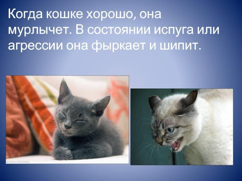 Как и почему мурчит кошка