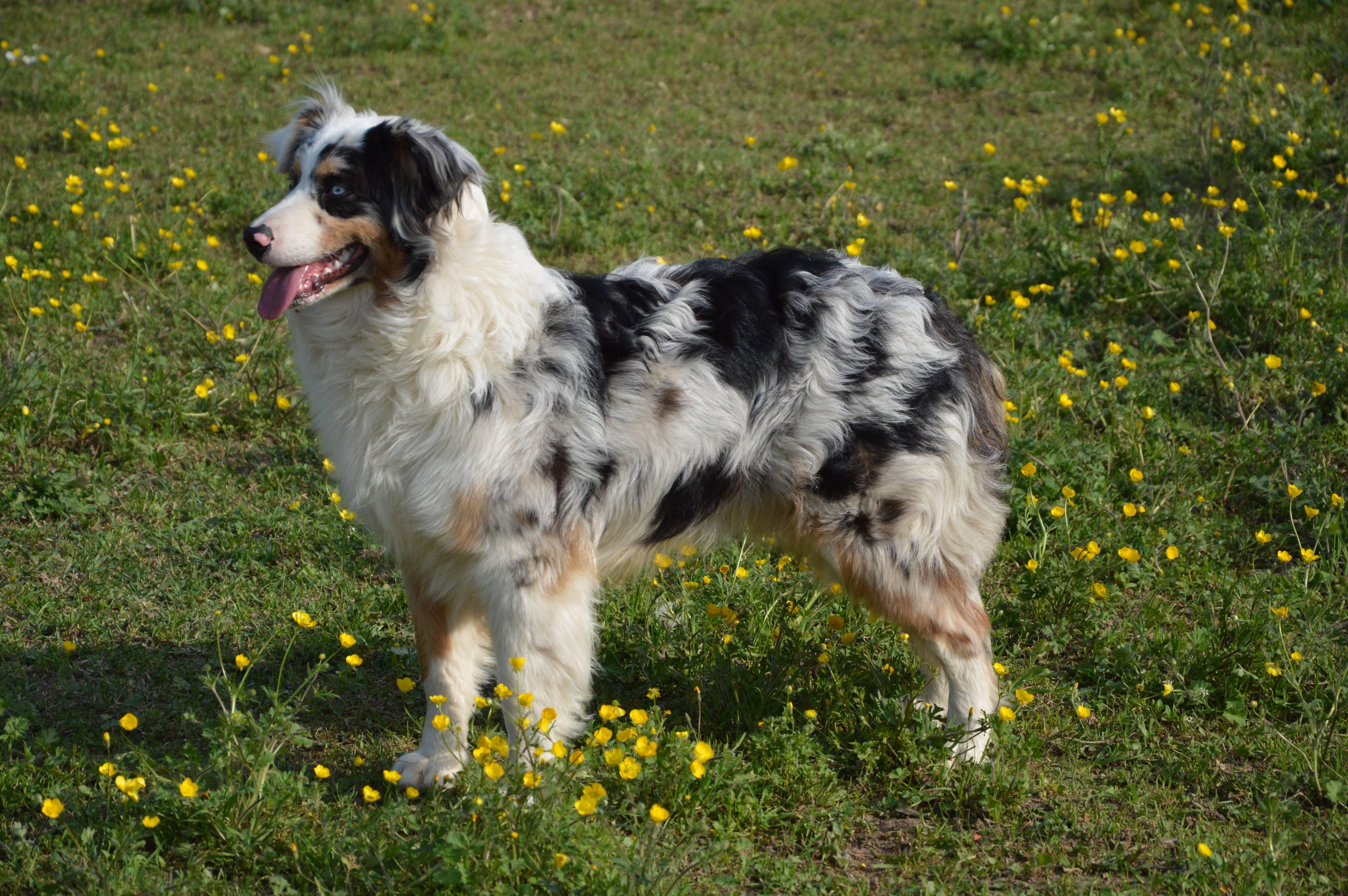 20 пастушьих пород собак с названиями и фотографиями
