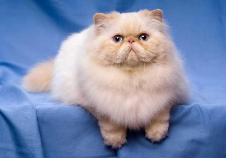 Гималайская кошка: описание породы