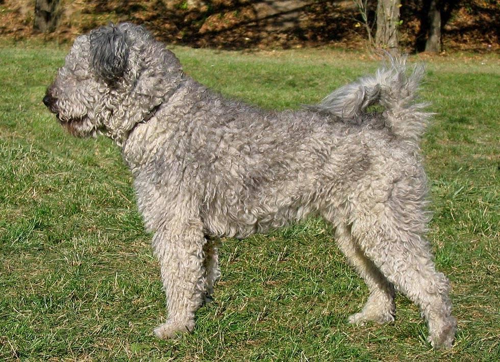 Описание породы собак муди (венгерская пастушья собака) с отзывами и фото