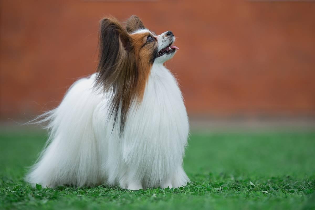 Континентальный той спаниель (папильон и фален): описание породы собак
