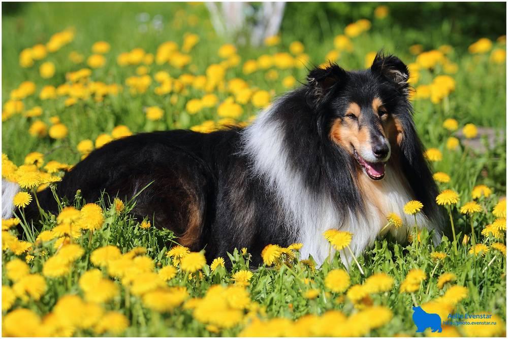 Колли (шотландская овчарка) – энциклопедия о собаках