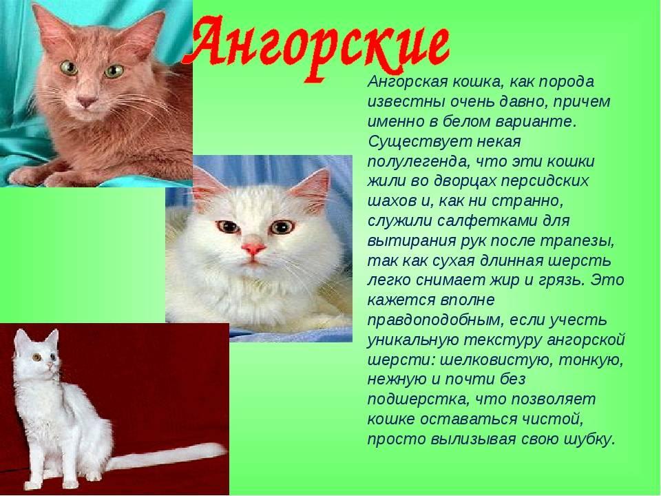 Ангорская кошка (89 фото): описание котов породы турецкая ангора и особенности их характера. характеристики котят черного и рыжего, серого и другого окраса