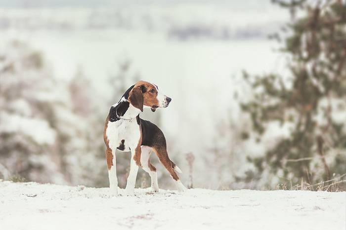 Русская пегая гончая: все о собаке, фото, описание породы, характер, цена