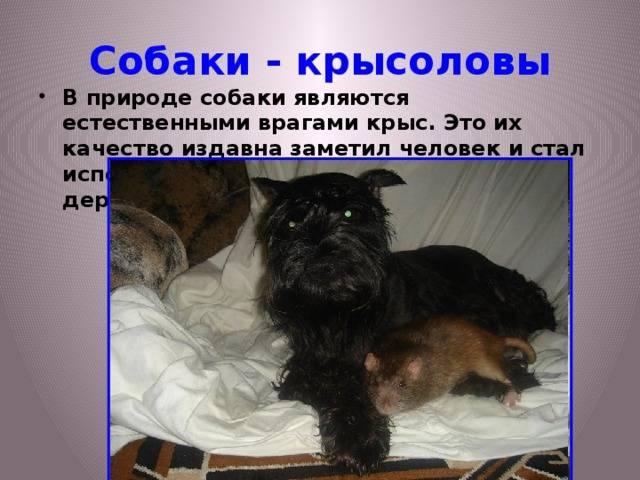 Описание породы пражский крысарик и отличия с русским тоем
