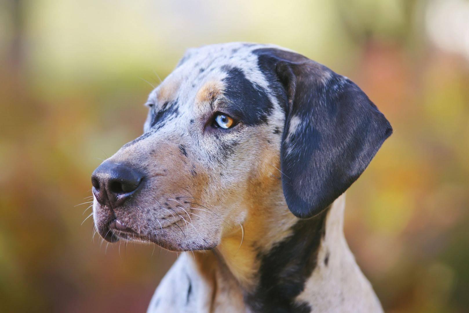 Катахулы (леопардовая собака) порода собак.