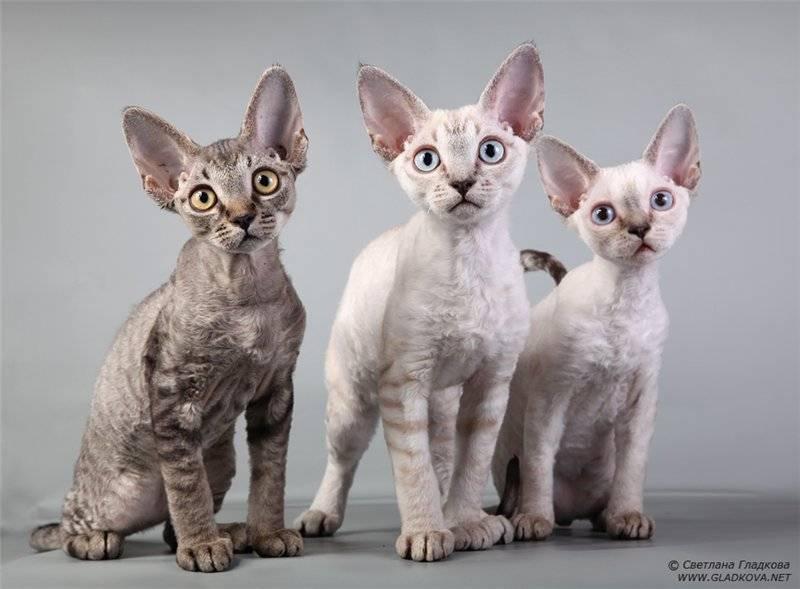 Самые популярные породы кошек: топ 10