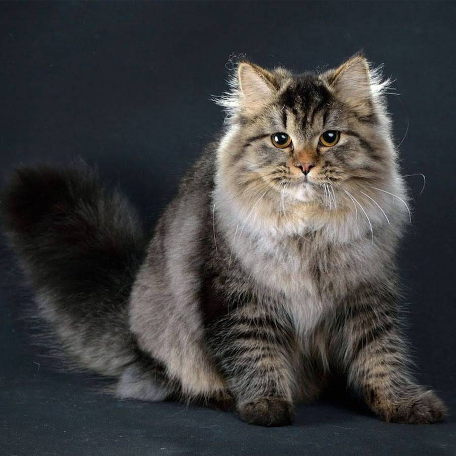 Сибирская кошка (Сибирский кот)