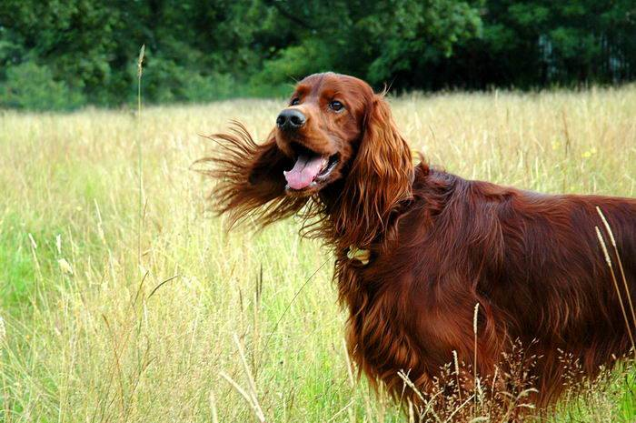 Ирландский сеттер: характеристика, описание, фото, щенки, уход