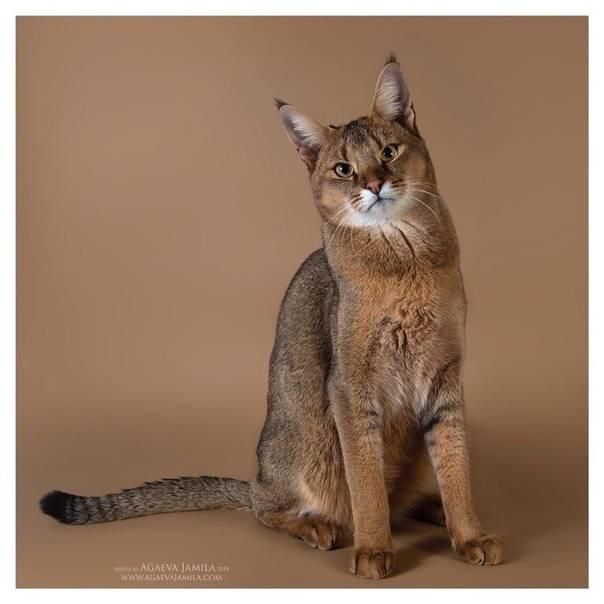 Чаузи кошка. особенности, цена и уход за породой чаузи