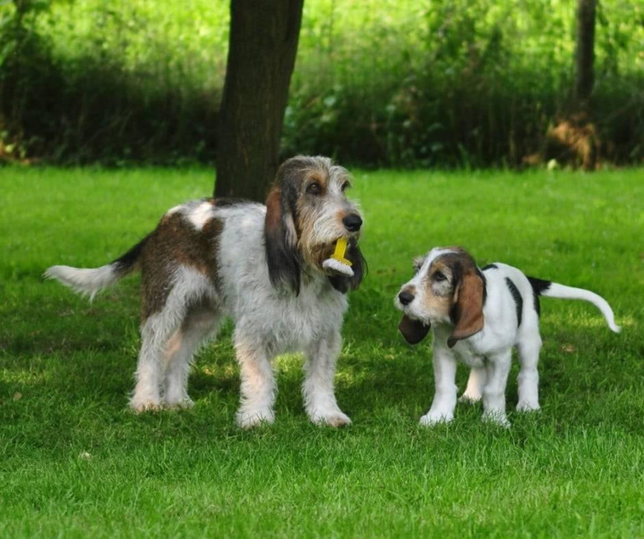 Порода собак гриффон — фото, описание, характер, особенности ухода, отзывы владельцев