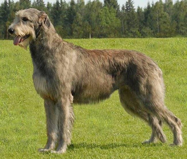 Волкодав: описание породы, уход и фото собак