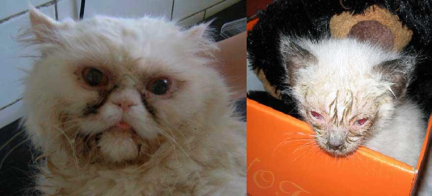 Профилактика и контроль коронавируса у кошек   советы ветеринара