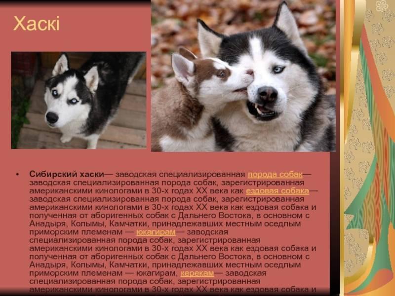 Описание породы хаски: внешний вид собак, особенности характера, плюсы и минусы, основные правила ухода и отзывы владельцев