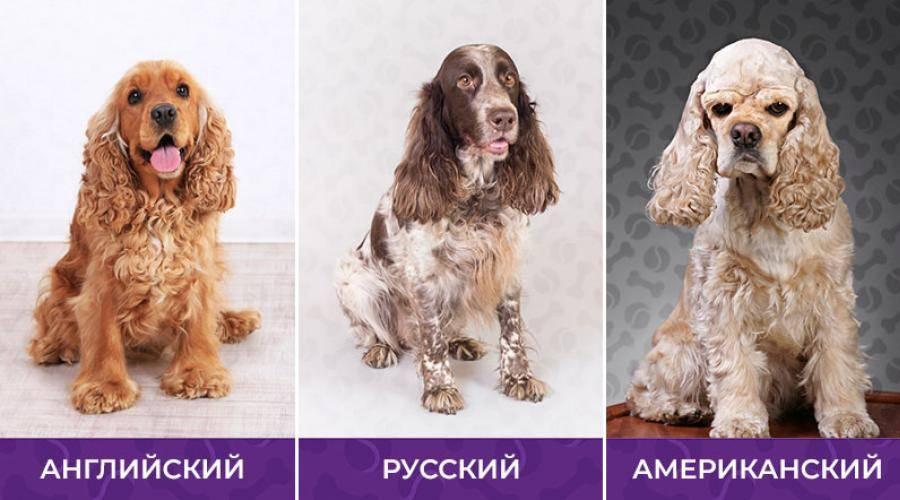 Английский кокер-спаниель – описание породы, особенности характера, плюсы и минусы, отличия от русской породы